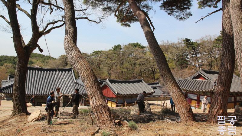 대웅전 봉황등 솔숲조경 불사 - 참나무 벌목 운력